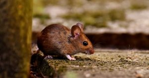 Pestco commercial pest exclusion wood mouse