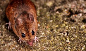 pest exclusion for businesses wood mouse
