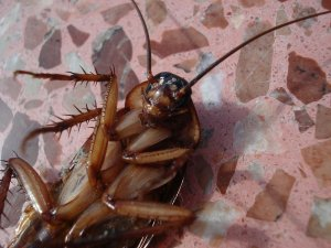 Pittsburgh Cockroach Control And Extermination Services