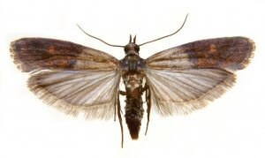 Pittsburgh Commercial Indian Meal Moth Elimination