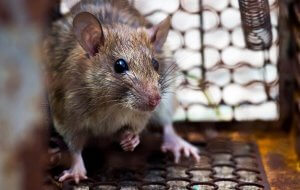 Pittsburgh Norway Rat Extermination Services For Businesses