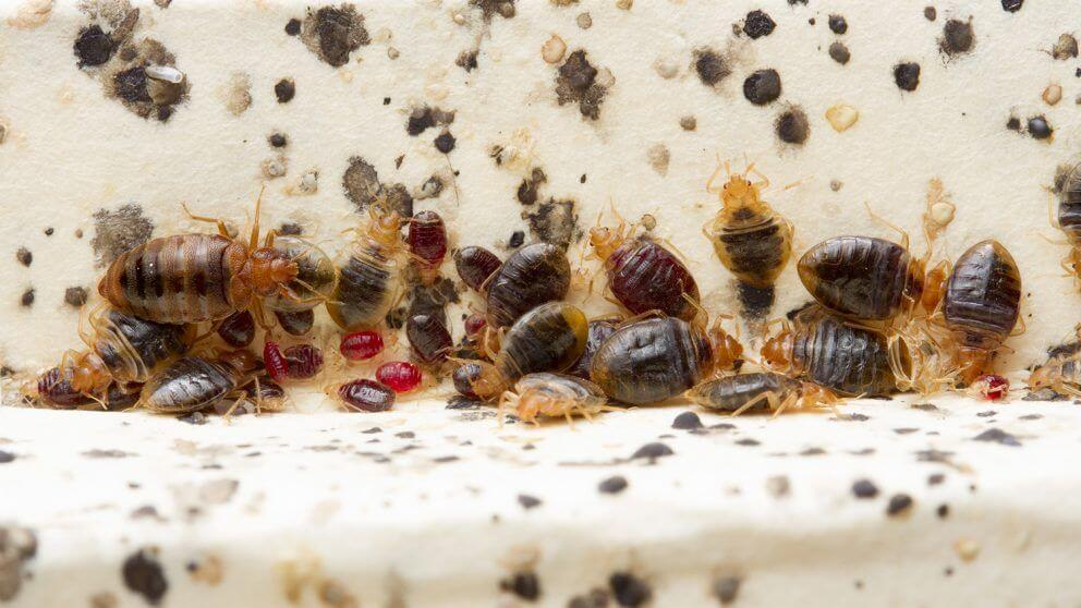 Bed Bug Extermination Pittsburgh Pennsylvania College Campuses