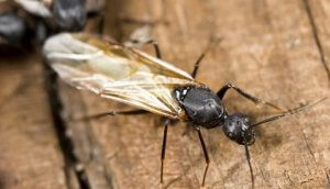 Pittsburgh Cold Weather Winged Carpenter Ant Control