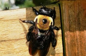 Pittsburgh Carpenter Bee Extermination