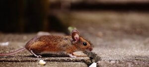 Pittsburgh Mice Extermination Services For Businesses