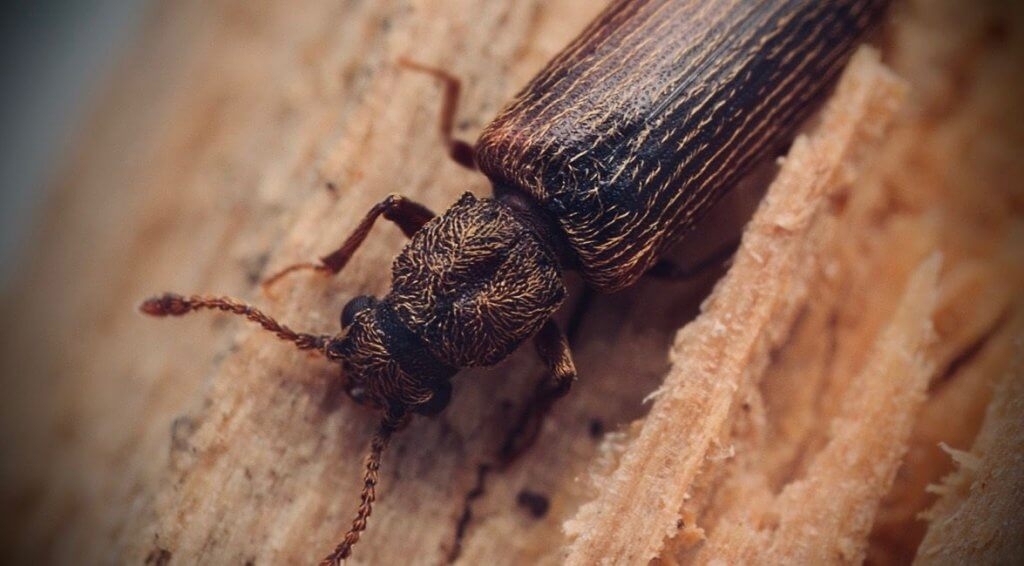 Pittsburgh & Western Pennsylvania Powderpost Beetle Control