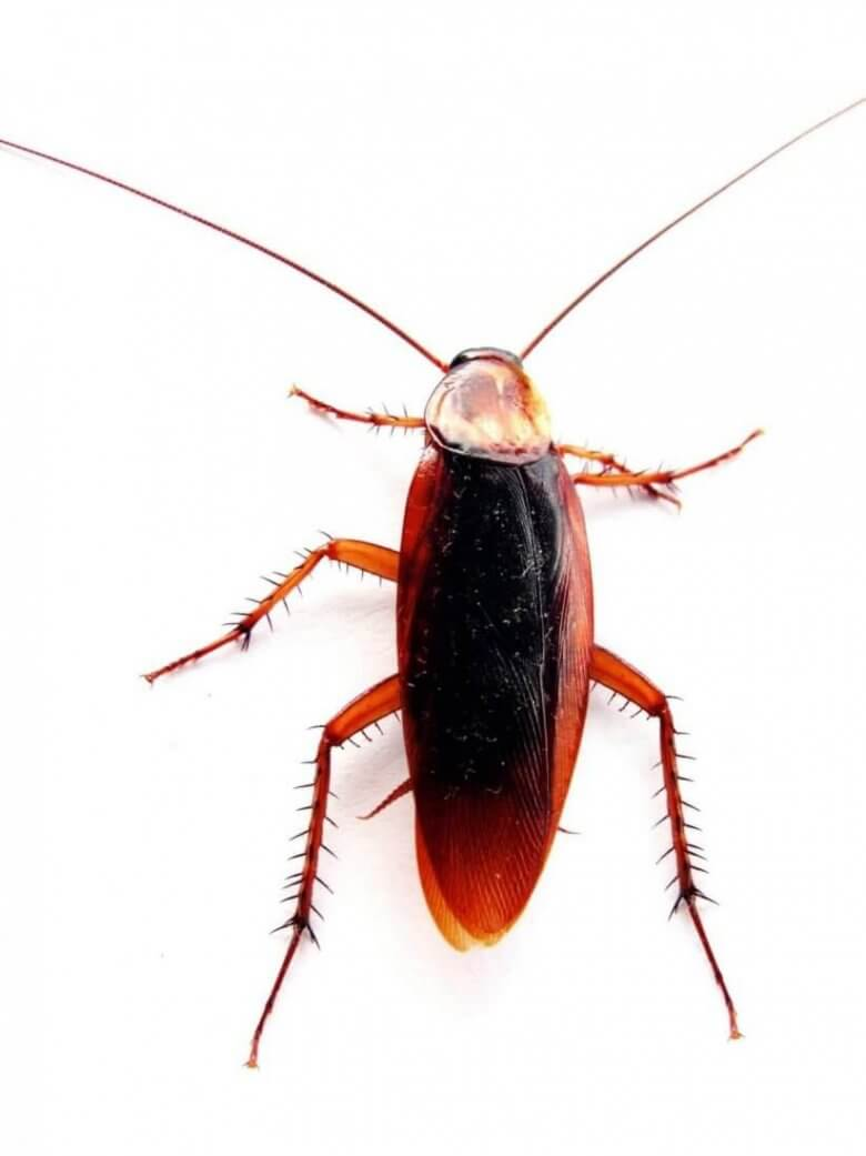 Pittsburgh Commercial Cockroach Pest Extermination