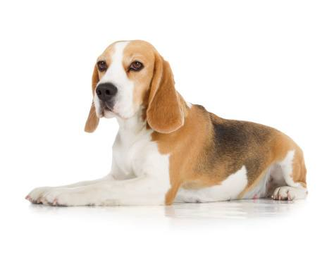 Pittsburgh Bed Bug Beagle Detection Services