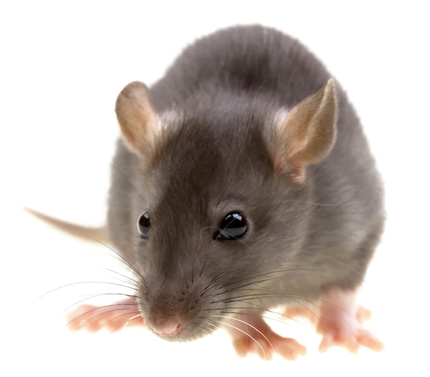 Pittsburgh Rat And Rodent Control Services