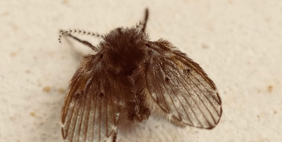 Pittsburgh S Most Effective Drain Fly