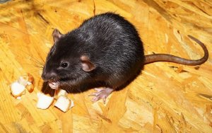 Pittsburgh Commercial Mice Rat And Rodent Extermination