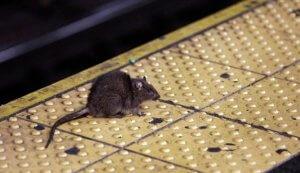Pittsburgh Rat Control Services Pestco