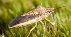 Pittsburgh Residential Stinkbug Control