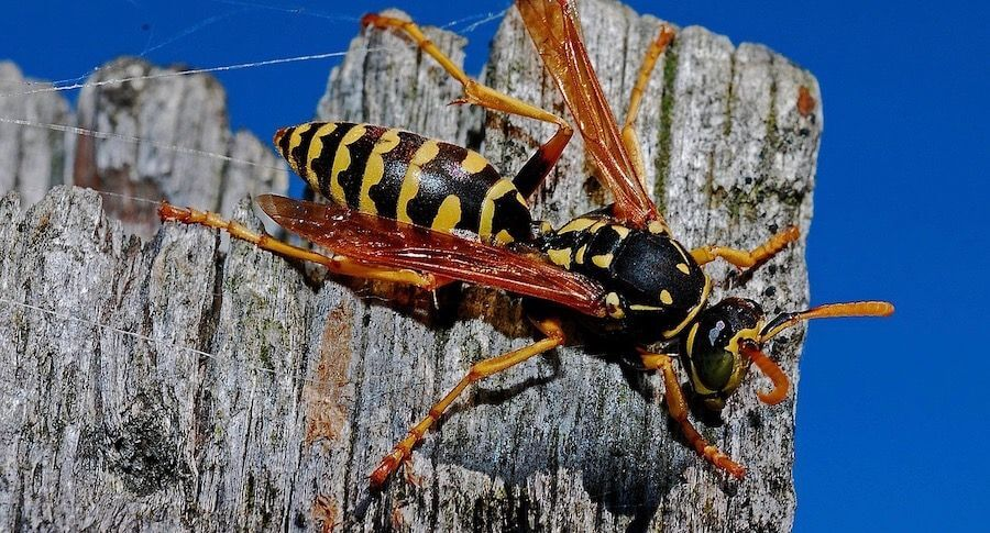 Pittsburgh Wasp Control The Most Fierce Stinging Insect