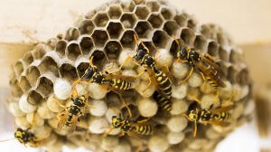 Pittsburgh Wasp Nest Removal Services
