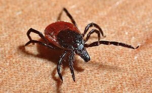 Pittsburgh Tick Lyme Disease