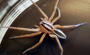 Pittsburgh Wolf Spider Control