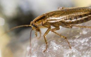 Pesticide Resistant Cockroaches