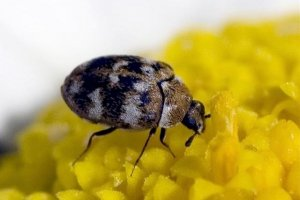 Pittsburgh Carpet Beetle Control