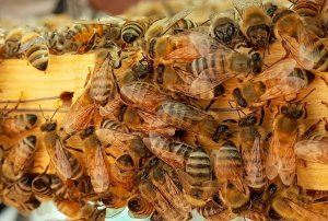 Save The Honeybee Pollinator