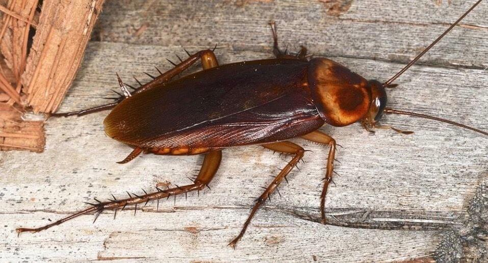 Pittsburgh American Cockroach