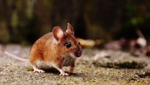 Mice Infestation Prevention Tips