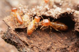 Termite Damage To Homes and Property