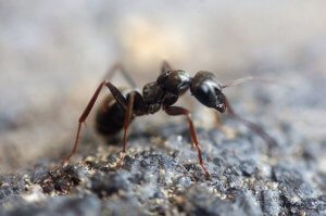 Pittsburgh Odorous House Ant Control