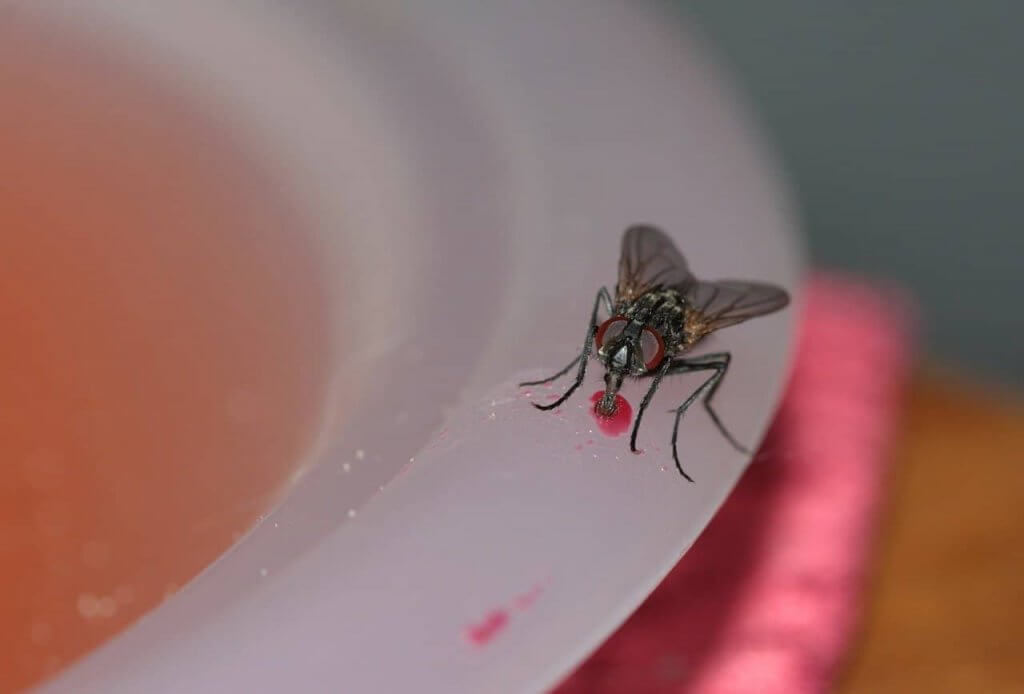 Pittsburgh Common House Fly
