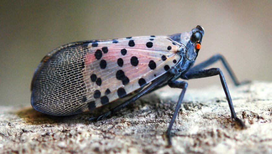 Spotted Lantern Fly Pittsburgh