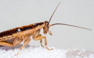 German Cockroach Winter Pest