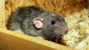 Norway Rat Winter Pests