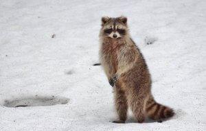Racoon Winter Wildlife Control