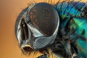 Allergens From Flies