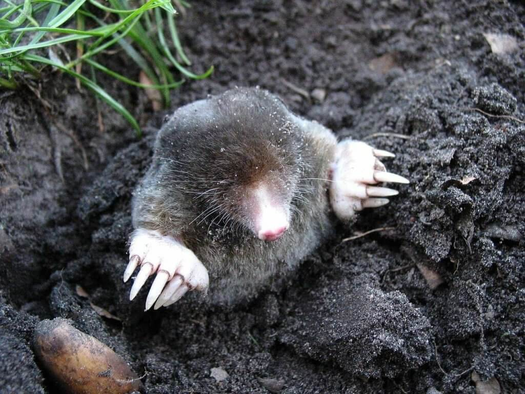 A Mole Emerging From Ground