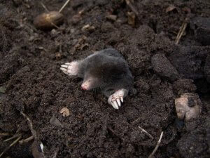 Moles In The Ground