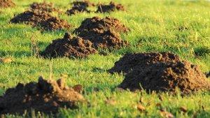 Moles Voles Control Pittsburgh