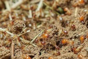 Termite Carpenter Ant Control