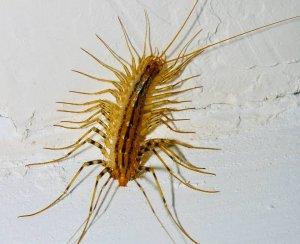 Behavior Of Centipedes