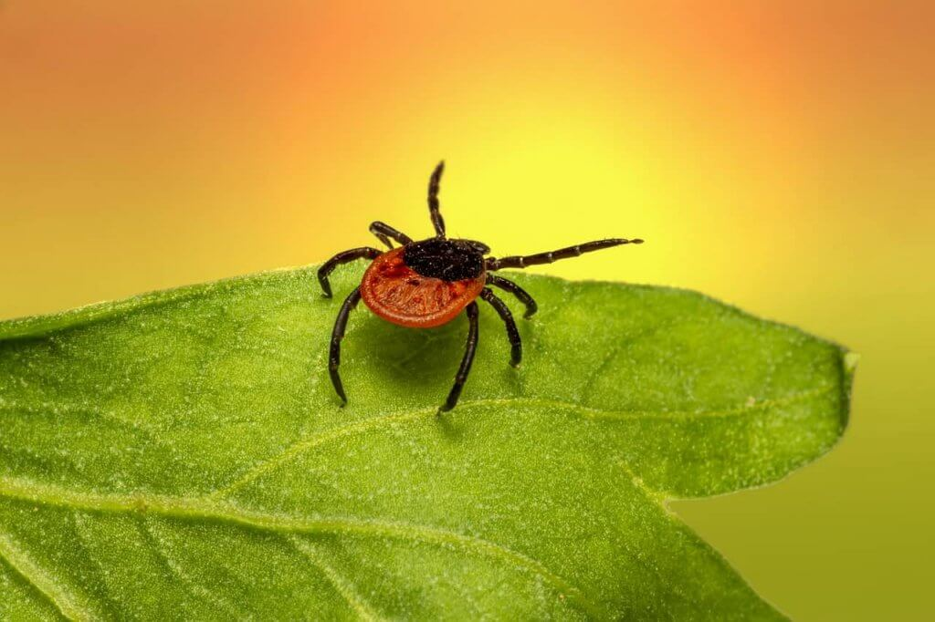 Check For And Remove Ticks