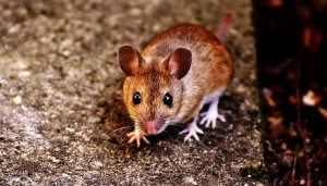 Mouse Breed Pittsburgh