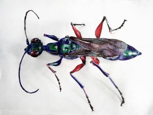 Zombie Insect Emerald Cockroach Wasp