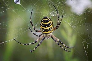 Zombie Orb Weave Spider